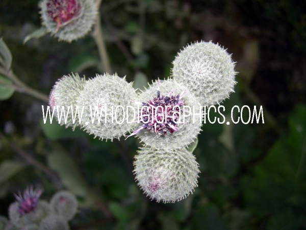 Spiny Puff Balls